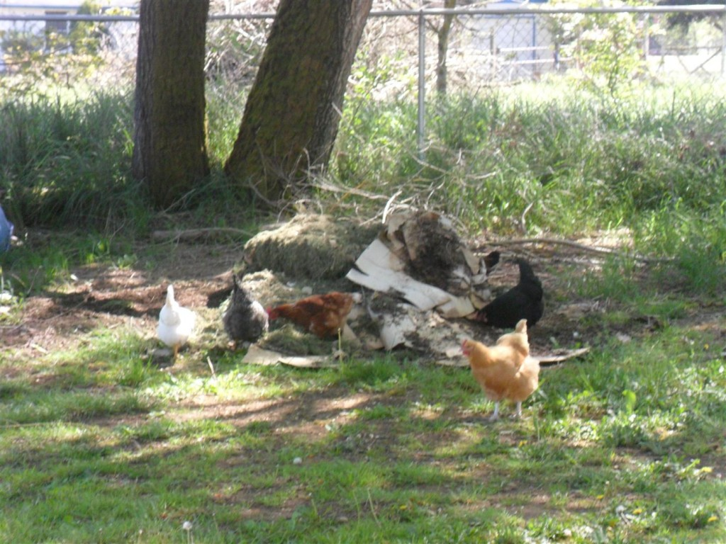 The chickens have decimated the compost heap... it's gone now.