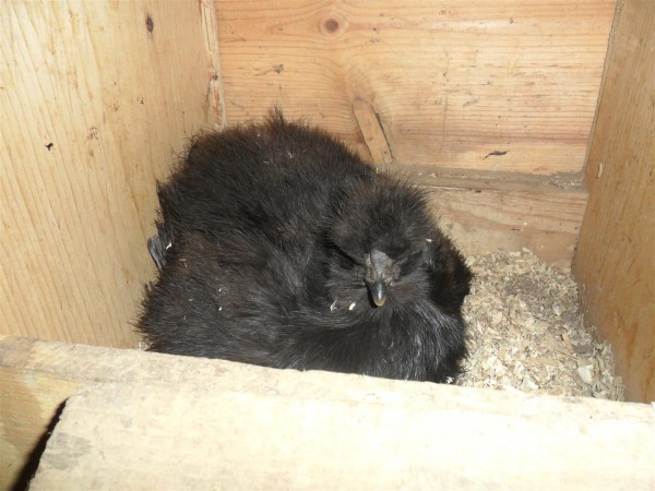 Our little silkie in the big nest.  Apparently, even tiny chickens double in mass when they get broody.  I've never seen her looking so large.