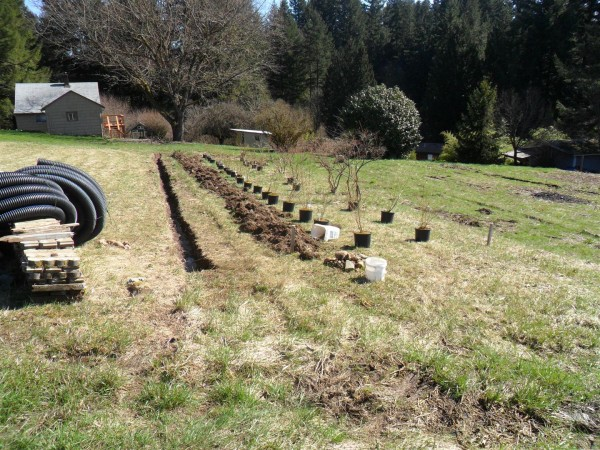 Before planting the blueberries.