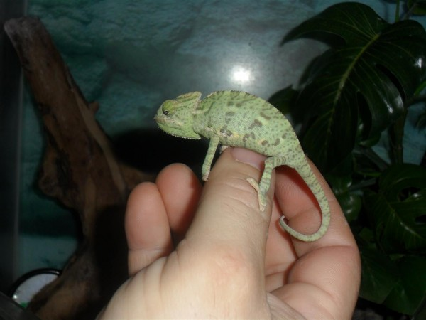 Tiny, adorable chameleons.  Only Maggie held this cute little fella.
