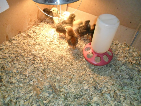 Here are the chicks shortly after we got them! The ones that are 5 or 6 weeks old now.