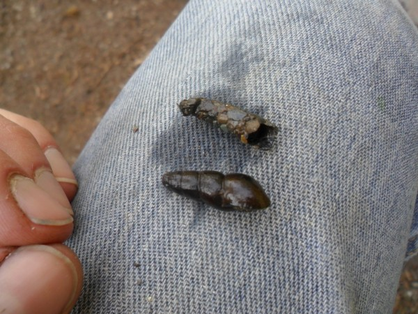 One of these is a snail and one is an insect. See the one on top? It's actually the larval stage of a caddisfly!