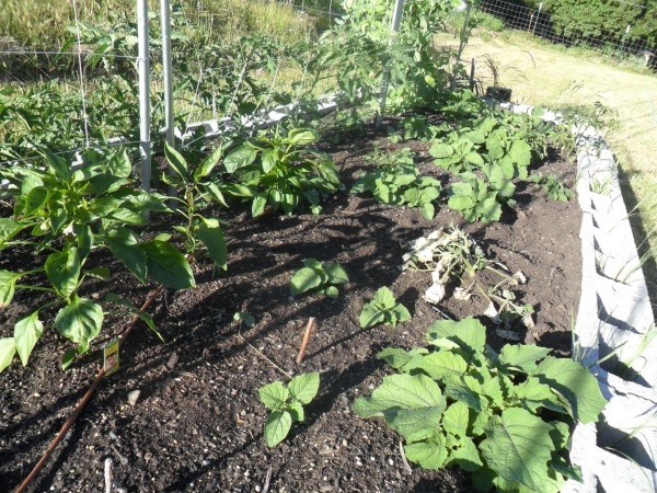 Oh and hello tomatoes and snap peas!