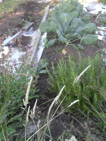 Blooming sage and rosemary near the brussel sprouts