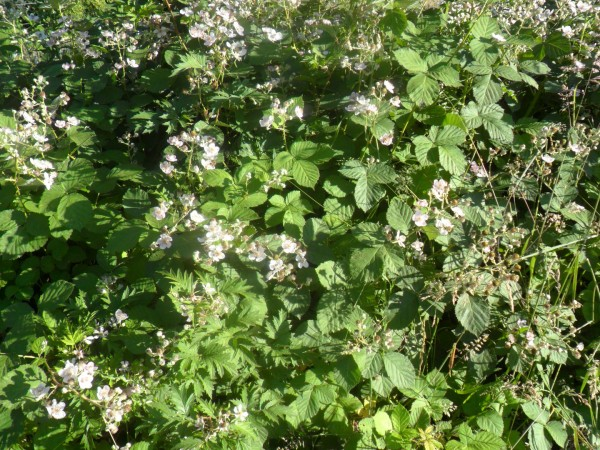 Lots of delicious, approachable blackberry blooms!