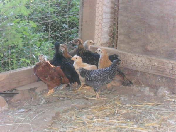 Here are our chicks - 5 weeks old today.