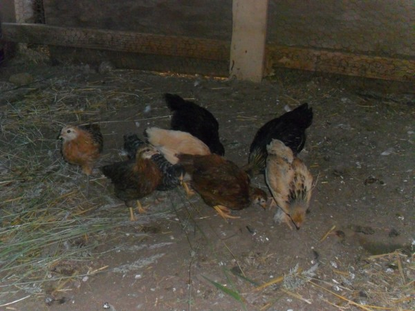 There is a: Buff Laced Wyandotte, Gold Laced Wyandotte, Barred Rock, Australorp, Welsummer, Americauna/Easter Egger, Buff Brahma and a Rhode Island Red. I had a lot of fun choosing them. They all lay brown eggs except one is dark brown and one will be blue or green.