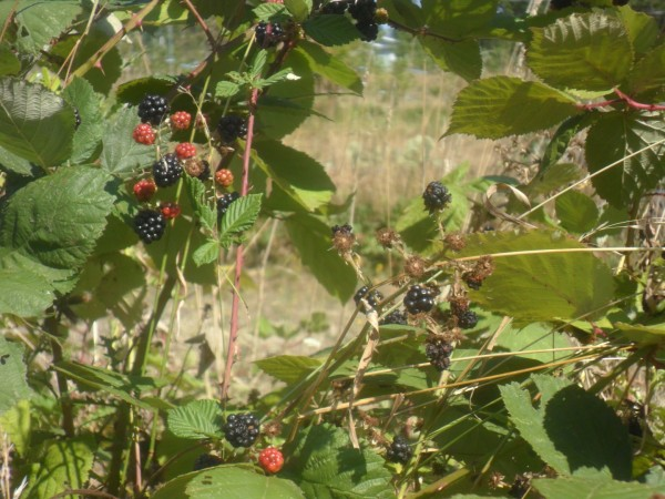 The only blackberries I could find. The rest were finished.