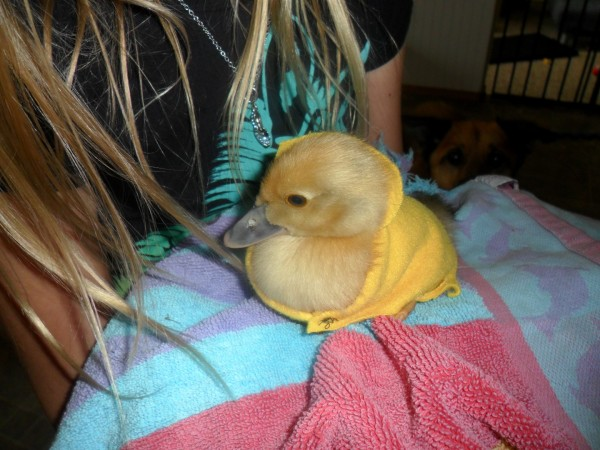 Our neighbor friends were over today and they played with the ducklings. I told them to keep the ducklings warm.... so Elli sewed two little sweaters for them.
