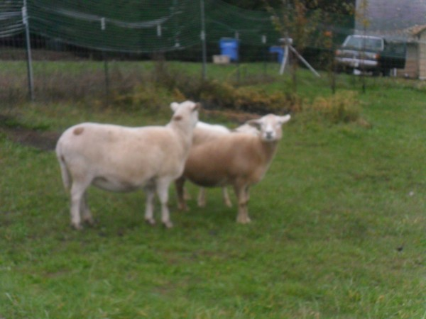 The two females are shown here - they don't look to be too heavily pregnant yet.