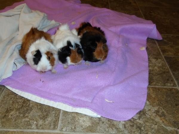 Meet three young guinea pigs - Panda, Snowflake and Blackie.