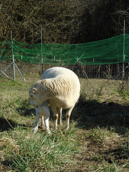 Here is Spot, tending to her several-day-old lamb.
