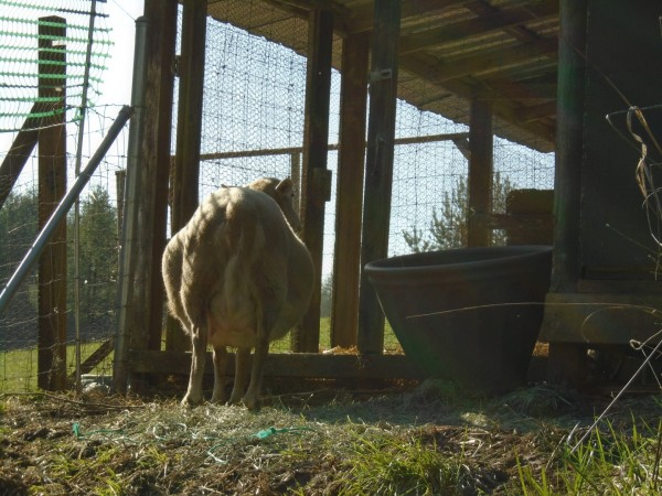 Here is Brownie... waiting for her lambs to be born.