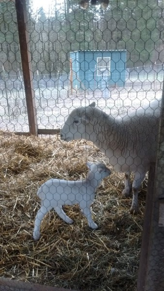 The first lamb - Halo - little ewe lamb. So precious.