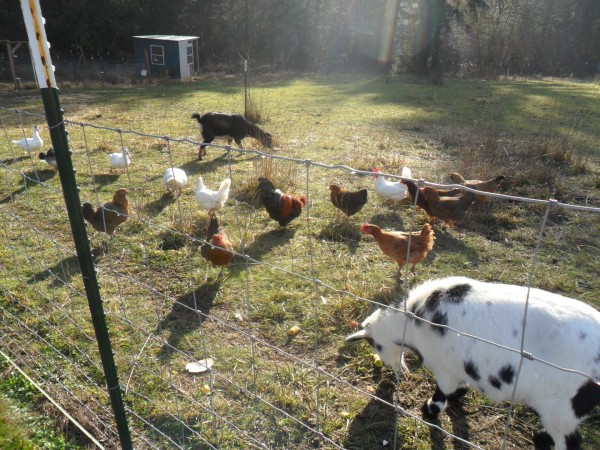 2 goats, 15 chickens, 4 ducks, 3 sheep, 2 dogs, 1 cat, 4 kids, 2 grownups. Big messes and good times.
