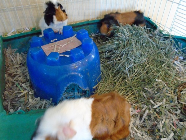 Random guinea pig picture. Or as Brian calls them, furry, squeaking potatoes.
